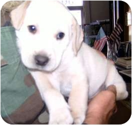 Labrador Retriever/Boxer Mix Puppy for adoption in Lonedell, Missouri - toby