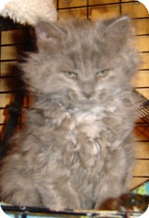 Maine Coon Kitten for adoption in Franklin, West Virginia - Clover