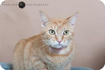 Domestic Shorthair Cat for adoption in Jackson, Michigan - Cuddlebug