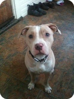 American Pit Bull Terrier Mix Dog for adoption in Roaring Spring, Pennsylvania - Gracie