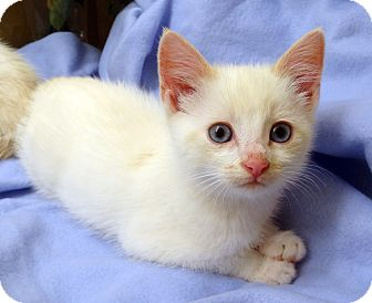 Domestic Shorthair Kitten for adoption in Bentonville, Arkansas - Yuma