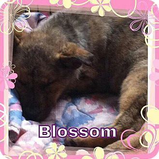 Husky/Labrador Retriever Mix Puppy for adoption in Chilliwack, British Columbia - Blossom