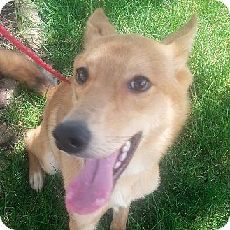Shepherd (Unknown Type)/Shiba Inu Mix Puppy for adoption in Romeoville, Illinois - Foxy *Adoption Pending*