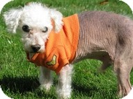 Poodle (Toy or Tea Cup) Dog for adoption in Madison, Wisconsin - Newton