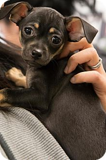 Chihuahua Mix Puppy for adoption in Pitt Meadows, British Columbia - Chai