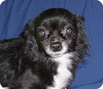 Chihuahua Dog for adoption in Port Clinton, Ohio - Angel