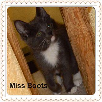Domestic Shorthair Kitten for adoption in Warren, Ohio - Miss Boots