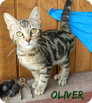 American Shorthair Cat for adoption in Lawrenceburg, Tennessee - Oliver