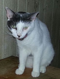 Domestic Shorthair Cat for adoption in Statesville, North Carolina - Jomby