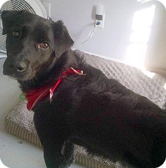 Flat-Coated Retriever Mix Dog for adoption in Largo, Florida - Sammy