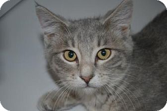 Domestic Shorthair Cat for adoption in Edwardsville, Illinois - Garland