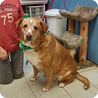 Labrador Retriever/Golden Retriever Mix Dog for adoption in Maryville, Illinois - Penny