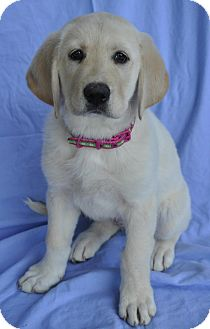 Labrador Retriever/Great Pyrenees Mix Puppy for adoption in Atlanta, Georgia - McKinley