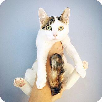 American Shorthair Kitten for adoption in New York, New York - Apple