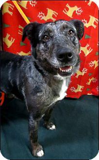 Australian Shepherd/Border Collie Mix Dog for adoption in Colville, Washington - Baby
