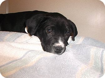 Labrador Retriever Mix Puppy for adoption in Milton, New York - Butch