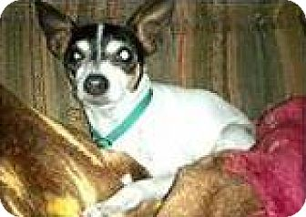 Rat Terrier Mix Dog for adoption in Huntley, Illinois - Phoebe