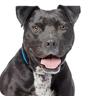 American Staffordshire Terrier/Pit Bull Terrier Mix Dog for adoption in Los Angeles, California - Cuervo
