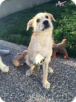Retriever (Unknown Type) Mix Dog for adoption in Concord, California - Memphis