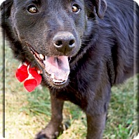 Adopt A Pet :: Shadow gentle mellowish - Sacramento, CA