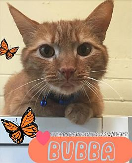 Domestic Shorthair Cat for adoption in Hampton, Virginia - Bubba