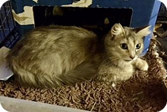Domestic Shorthair Cat for adoption in Brea, California - BLOSSOM