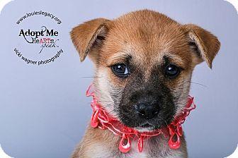 German Shepherd Dog/Boxer Mix Puppy for adoption in Cincinnati, Ohio - Foxy