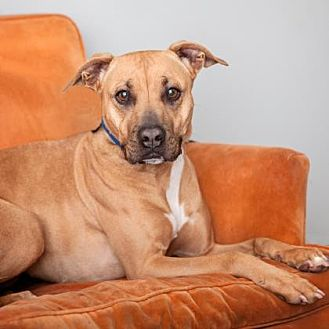 German Shepherd Dog Mix Dog for adoption in Mission Hills, California - Fawn
