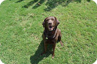 Labrador Retriever Dog for adoption in Phoenix, Arizona - Lily