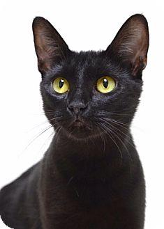 Domestic Shorthair Cat for adoption in Dublin, California - Jackie