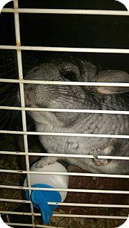 Chinchilla for adoption in Ogden, Utah - Silver Bell