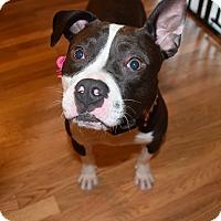 Adopt A Pet :: ZOEY - Waterbury, CT