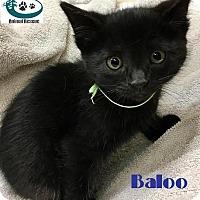 Adopt A Pet :: Baloo - Cute Dude! - Huntsville, ON
