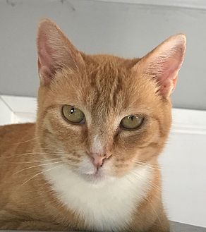 Domestic Shorthair Cat for adoption in pasadena, California - Peaches