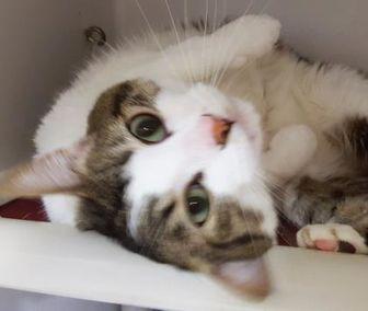 Domestic Shorthair/Domestic Shorthair Mix Cat for adoption in Twinsburg, Ohio - Carlos