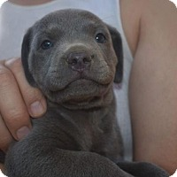 Adopt A Pet :: Hudson - Dana Point, CA