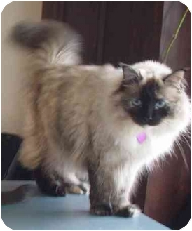 Himalayan Cat for adoption in West Los Angeles, California - Claire