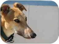Greyhound Dog for adoption in St Petersburg, Florida - Judy