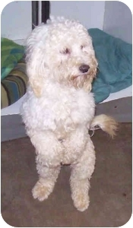 Poodle (Miniature) Mix Dog for adoption in Sacramento, California - Fluffy