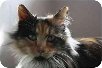 Domestic Longhair Cat for adoption in Davis, California - Amelia