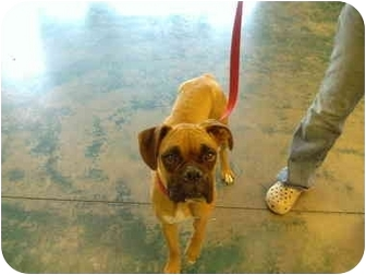 Boxer Dog for adoption in Reno, Nevada - Buttercup