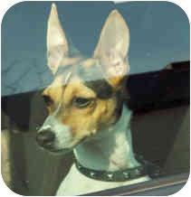 Rat Terrier Dog for adoption in Milton, Massachusetts - Rocky