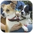 Photo 2 - Rat Terrier Dog for adoption in Los Angeles, California - Clyde