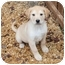 Photo 4 - Labrador Retriever Mix Puppy for adoption in Spring Valley, New York - Vanderbilt