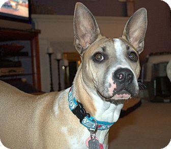 German Shepherd Dog/Shar Pei Mix Puppy for adoption in Dayton, Ohio - Hannah