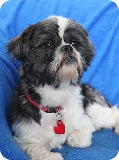 Shih Tzu Dog for adoption in Wichita, Kansas - Buttons