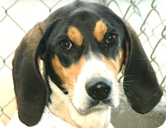 Treeing Walker Coonhound Dog for adoption in Snohomish, Washington - Drew Great Family Dog