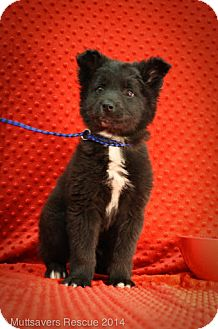Border Collie/Retriever (Unknown Type) Mix Puppy for adoption in Broomfield, Colorado - Pookie Bear