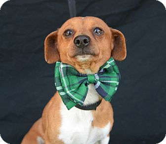 Dachshund Mix Dog for adoption in Plano, Texas - Cuba Gooding, Jr.