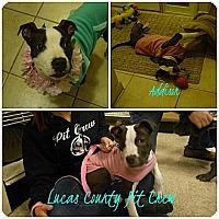 Adopt A Pet :: Addison - Toledo, OH